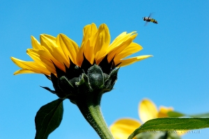 bee&sunflower1aWmark