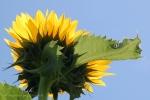 onefavoritesunflower4x6Wmark