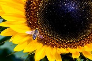 sunflower&bee4x52Wmark