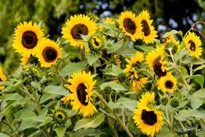 sunflowerfields4x61WMark