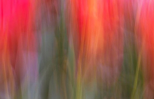 Tulip Waves - Marion McCristall Photographer