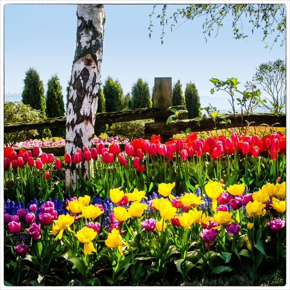 tulips tree fence 12x12WC BD