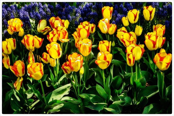 tulips yellow red 16x24WC BD