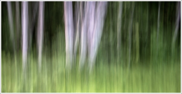 Paper birch trees at Shamper's Bluff. Photograph taken using a panning technique I learned from Freeman years ago.