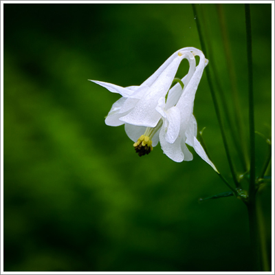 Columbine covered in morning dew.