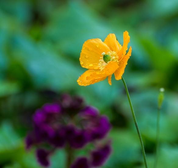 Glades orange poppy1 May 2014